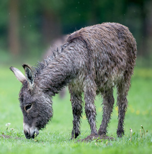 Donkey from Knuthenborg Safari Park.