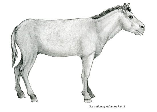 Artist rendering of the Ice Age horse, Equus scotti. Image courtesy San Bernardino County Museum