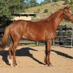 Hanoverian colt an exciting addition for NZ breeders