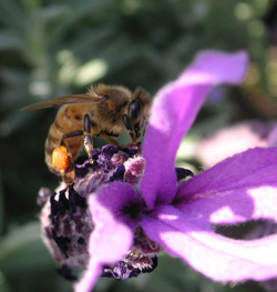 A bee on a lavender flower.