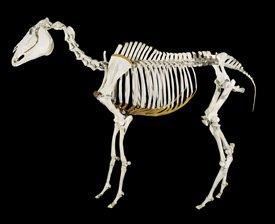Dem bones: A Te Papa image of Phar Lap's skeleton.