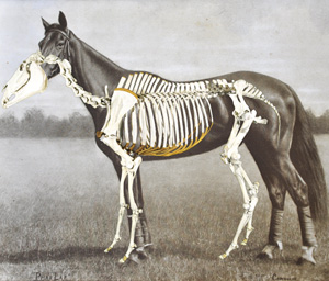Overlaid: Marshall's overlaid image highlights the poor posture of Phar Lap's skeleton - head bowed and legs positioned awkwardly. It also raises the possibility that Phar Lap is short in the back, possibly due to not enough space between the vertabrae. The skeleton is sized to line up with Phar Lap's back at his withers and at his front knee joints.