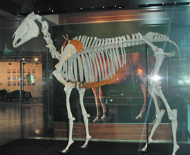 Put right: Phar Lap's skeleton in March 2013.