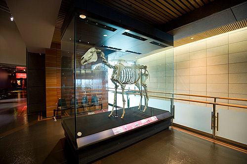 Phar Lap's skeleton in the Museum of New Zealand Te Papa Tongarewa.