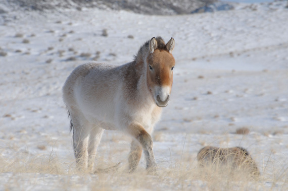 Sequencing of 700,000 year old horse DNA shows that  the Przewalski's horse population became isolated from the lineage leading to the present day domesticated horses about 50,000 years ago.
