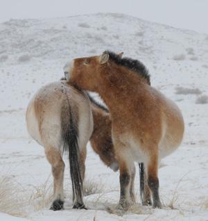 Przewalski's Horses.
