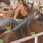 Horses held in export pens before transported for slaughter.
