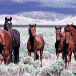 Free-ranging wild horses. © BLM/Utah