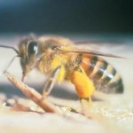 Mare and foal die in attack by bee swarm