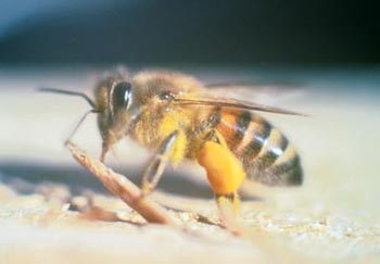 An africanized bee.