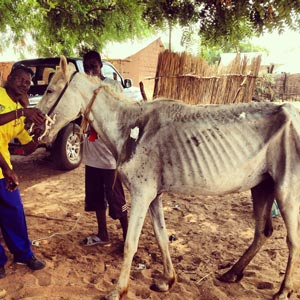 Working equines in The Gambia need ongoing support.