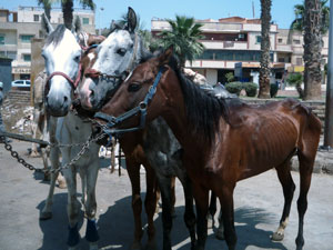 Carriage horses visit the SPANA-funded feeding programme in Cairo for a much-needed meal. The horses are in trouble following the collapse of the tourism industry. Photos: SPANA/ESAF