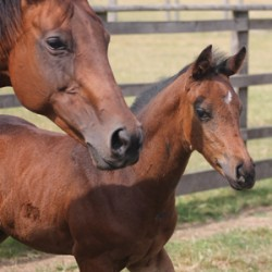 Increase in US thoroughbred foal crop predicted
