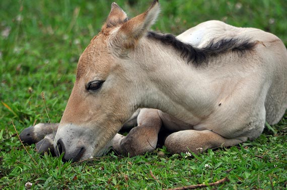 Scientists are celebrating the arrival of the first Przewalski's foal conceived through artificial insemination. Photo: Dolores Reed, Smithsonian Conservation Biology Institute