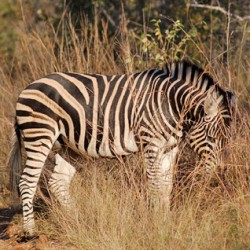 Three lashes for men found with illegal zebra meat