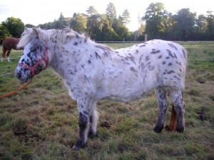 Delightful Dottie has sold as a riding horse when she had been a breeding mare for 17 years.