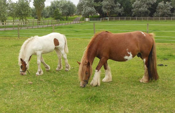 Happier days for the horses taken into care from Blackpool. Two are shown grazing at World Horse Welfare's Penny Farm. Photo: World Horse Welfare