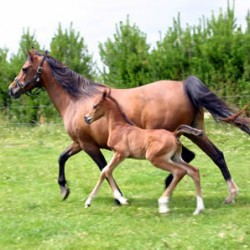 Ability of mares to reduce fear in foals shown in study