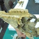 Bones of a new species of the hippidion horse, discovered in South America.