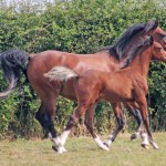 Breeding patterns in mares