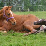 Mares who experience breech births more likely to do so again - research