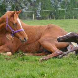 Mares who experience breech births more likely to do so again – research