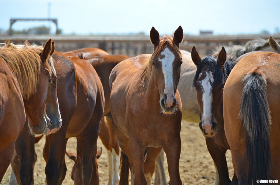 Horses after the Fort McDermitt roundup.