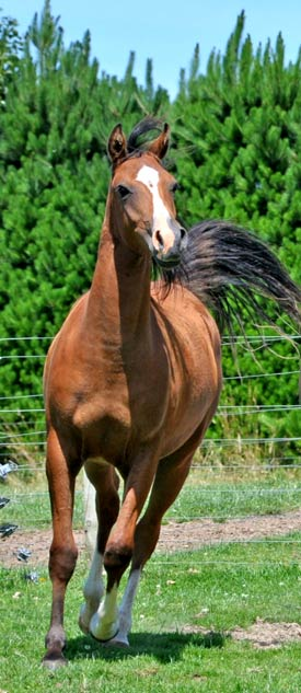 stock-trot-bay-arab
