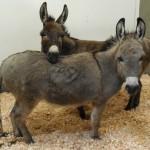 Tigger and Eeyore, two recent UC Davis VMTH patients.