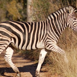 Are zebra stripes part of a fancy cooling system?