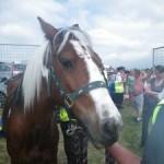 Poppet at Appleby Horse Fair © RSPCA