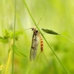 A mayfly. Horses are thought to be infected with the bacterium that causes Potomac horse fever through the ingestion of insects, often mayflies, which may land in drinking water. Photo: Luc Viatour / www.Lucnix.be