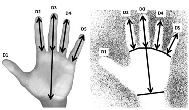 Measurement protocols for hand scans (left) and hand stencils (right). Image: Dean Snow/Pennsylvania State University