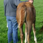 Read more: http://www.horsetalk.co.nz/breeding/tha-imprint.shtml#ixzz2hpQxbBox Reuse: You may use up to 20 words and link back to this page. Other reuse not permitted Follow us: @HorsetalkNZ on Twitter | Horsetalk on Facebook A foal who has been handled or imprinted from birth will be much easier to work with as he gets older.