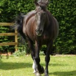 Remus after his arrival at The Horse Trust for his retirement. Photo: The Horse Trust