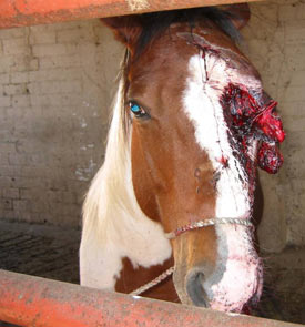 The stark reality of the slaughter trade: a horse injured in transit awaits slaughter.