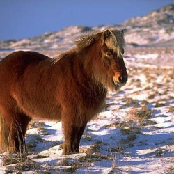 A quarter of Icelandic horses in Denmark found to be obese in study