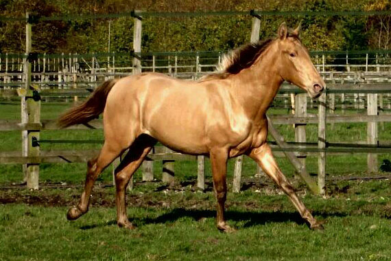 Pearl of Peace - Oro - has a dressage and stud career ahead of him.