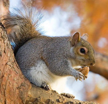 An Eastern Grey Squirrel (Sciurus carolinensis) munches on an acorn.