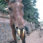 A case of African horse sickness. Photo: Gelagay Ayelet Melesse