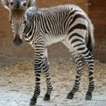 The new Hartmann's mountain zebra filly born last month at Disney's Animal Kingdom Lodge in Orlando, Florida.
