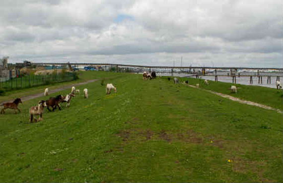 Fly-grazing horses in Gravesend, England. Photo: World Horse Welfare