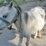 Luke had a serious parasite problem and was unable to get a share of the food on offer. Photo: World Horse Welfare