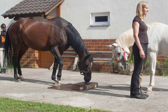 Watching and learning. Horses have shown an aptitude for social learning in a German study.