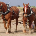 A pair of Suffolk Punch horses.
