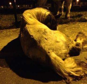 The beaten horse before it was euthanised. Photo: Animal Heaven Animal Rescue