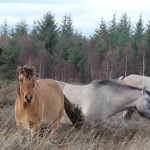Four of the five ponies that now graze on the Culloden battlefield. Photo: National Trust of Scotland