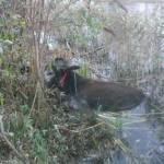 Nicola the donkey hauled from Dublin canal