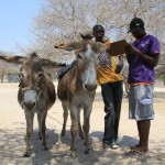 donkey-tags-botswana-4