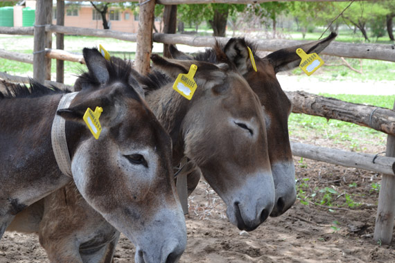 The donkeys in Botswana are being tagged in both ears with reflective eartags.